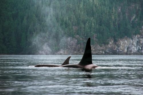 Observation des orques - Crédit photo Tourism British Columbia, Adrian Dorst