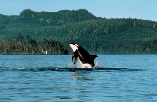 Observation des orques 2 - Crédit photo Tourism British Columbia