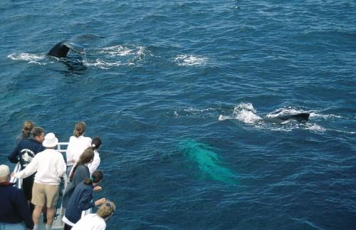 Observation-des-Baleines